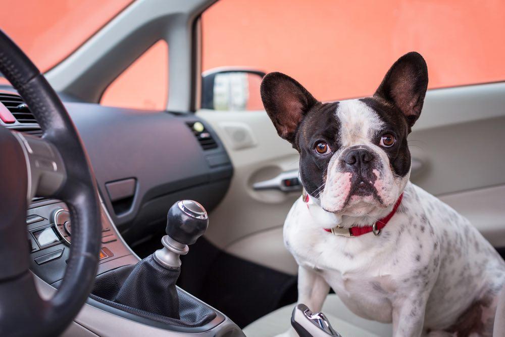 perrito en un coche, viajar con perro