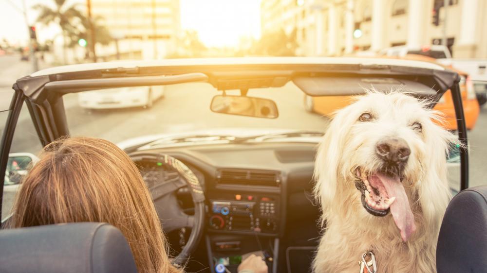 perro en un carro,viajar con perro