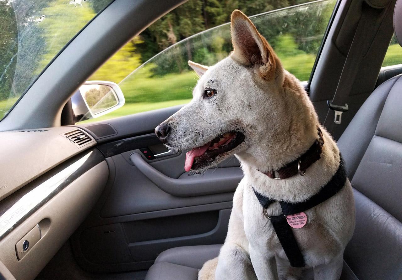 Como quitar pelos de perro del carro