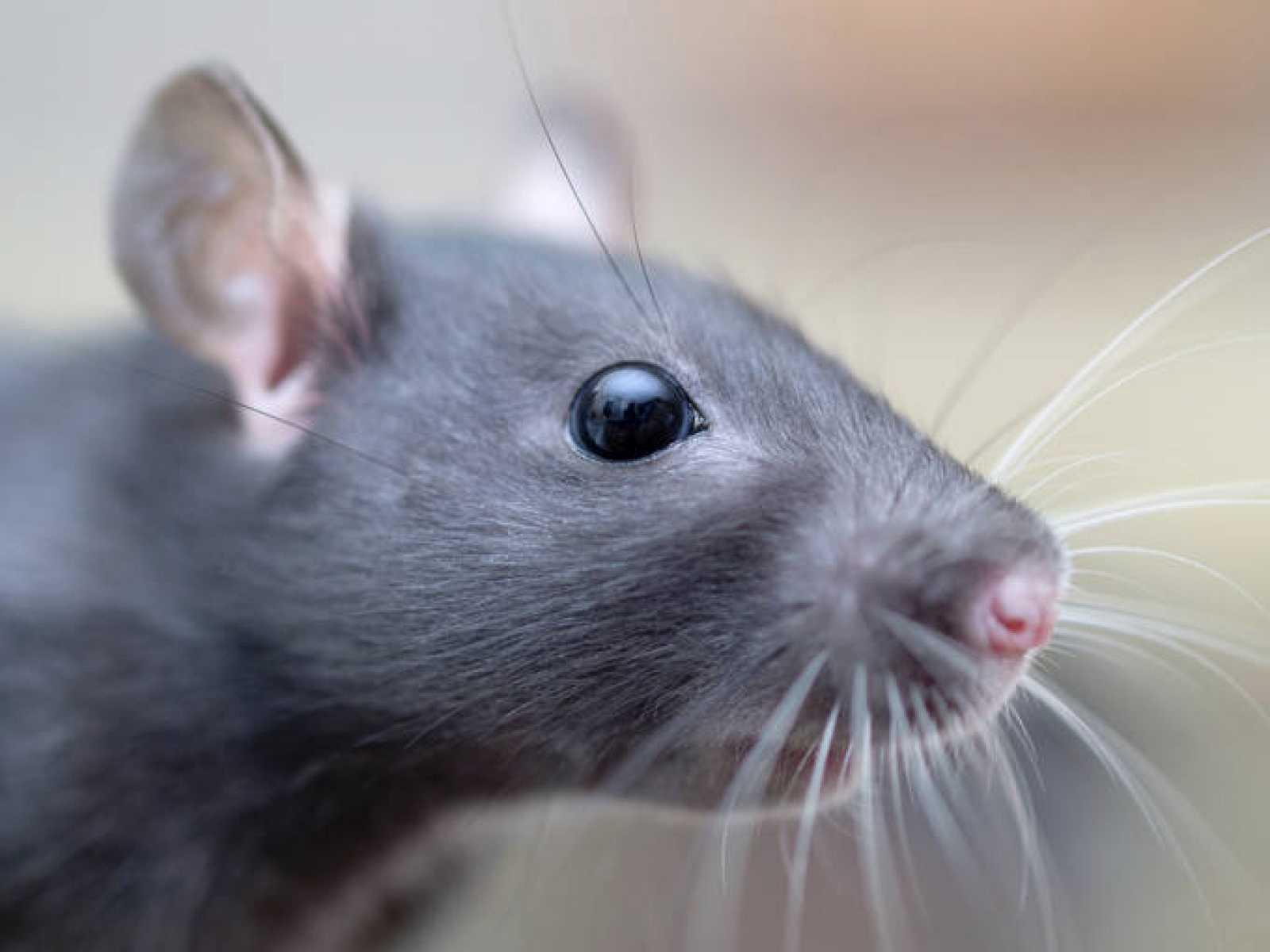 Cómo evitar que un roedor elija tu auto como su vivienda