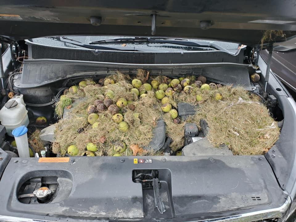 Encuentran cientos de nueces escondidas en una Kia Sorento
