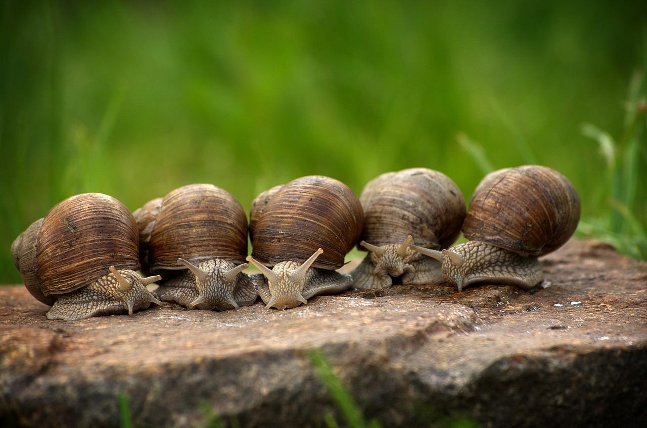 Los caracoles son considerados una plaga en Australia