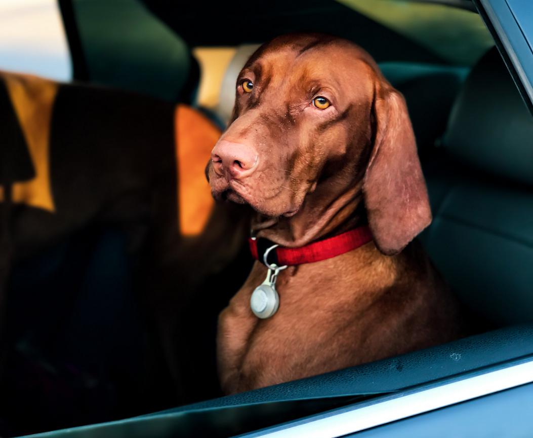 Video: Un perro conduce un auto ¡Por casi una hora!